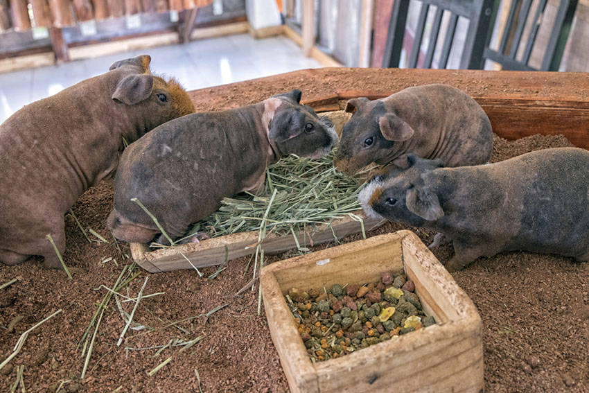 Keep Guinea pigs in pairs or groups