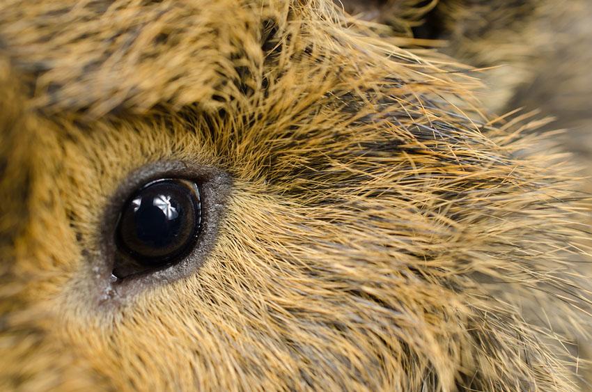 Guinea pig eye