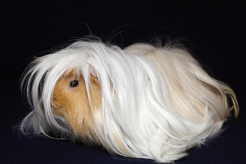 Guinea pig hair cuts