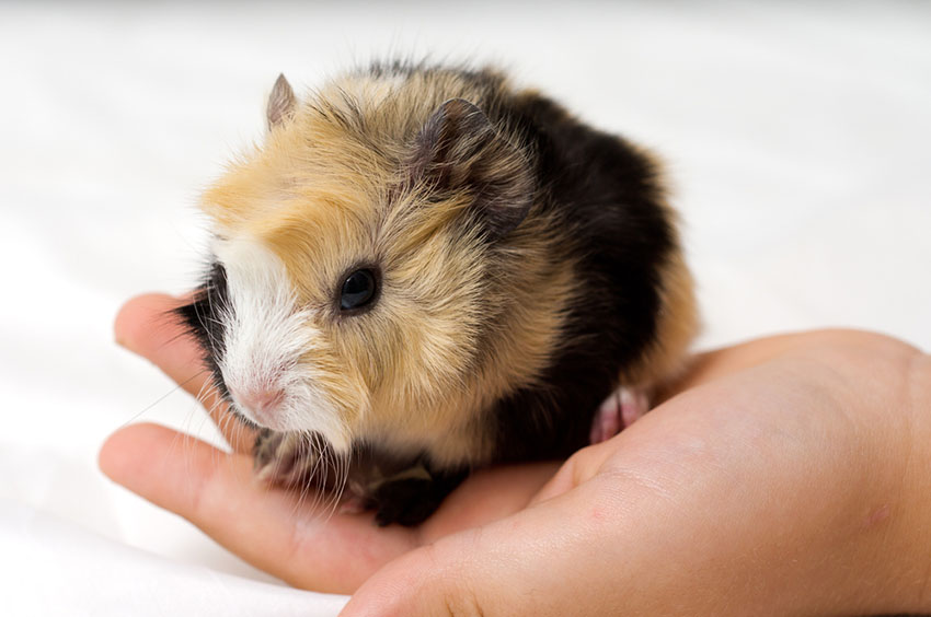 Guinea pig shows
