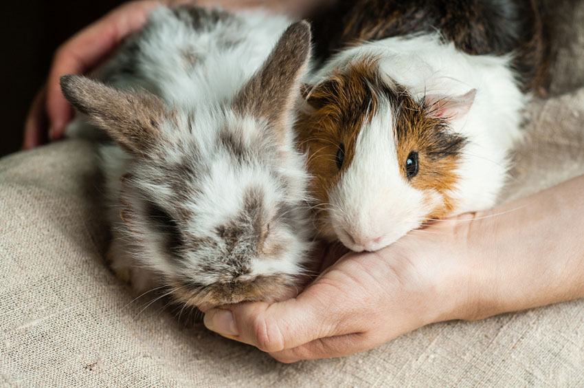Guinea pigs and rabbits