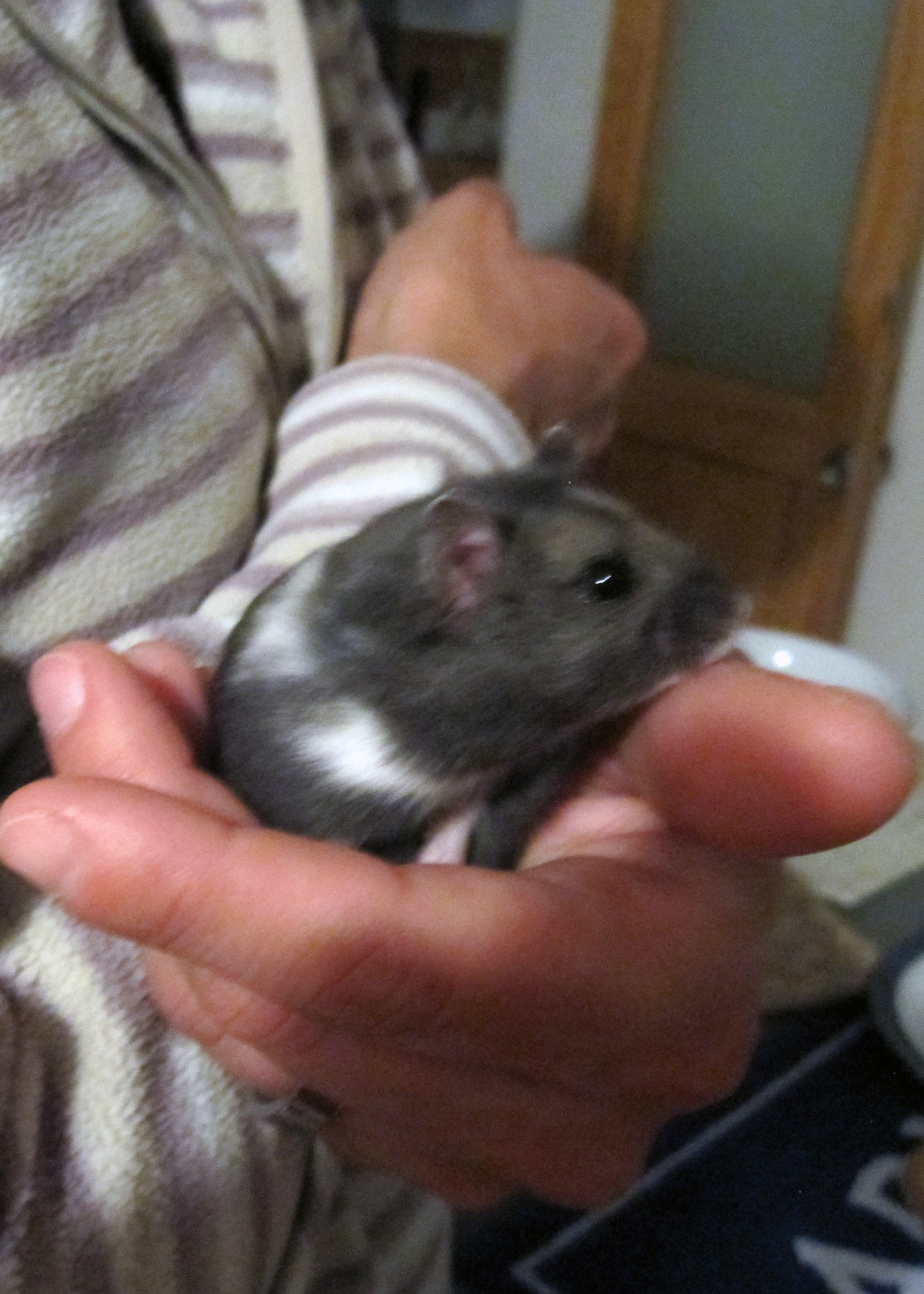 History About Hamsters Hamsters Guide Omlet Us