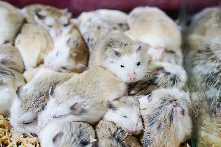 hamsters can live together