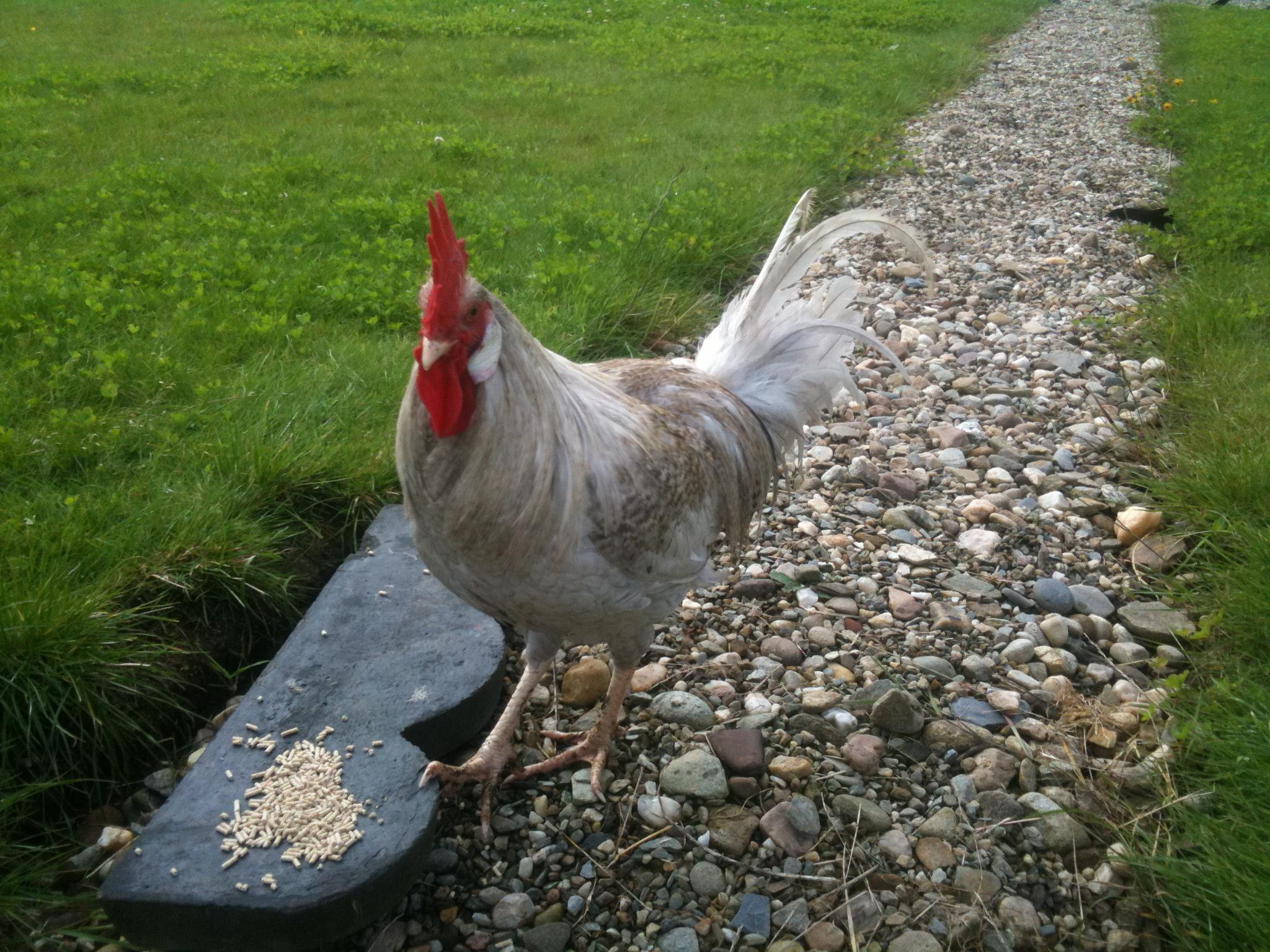 Leghorn Chickens Leghorn For Sal...