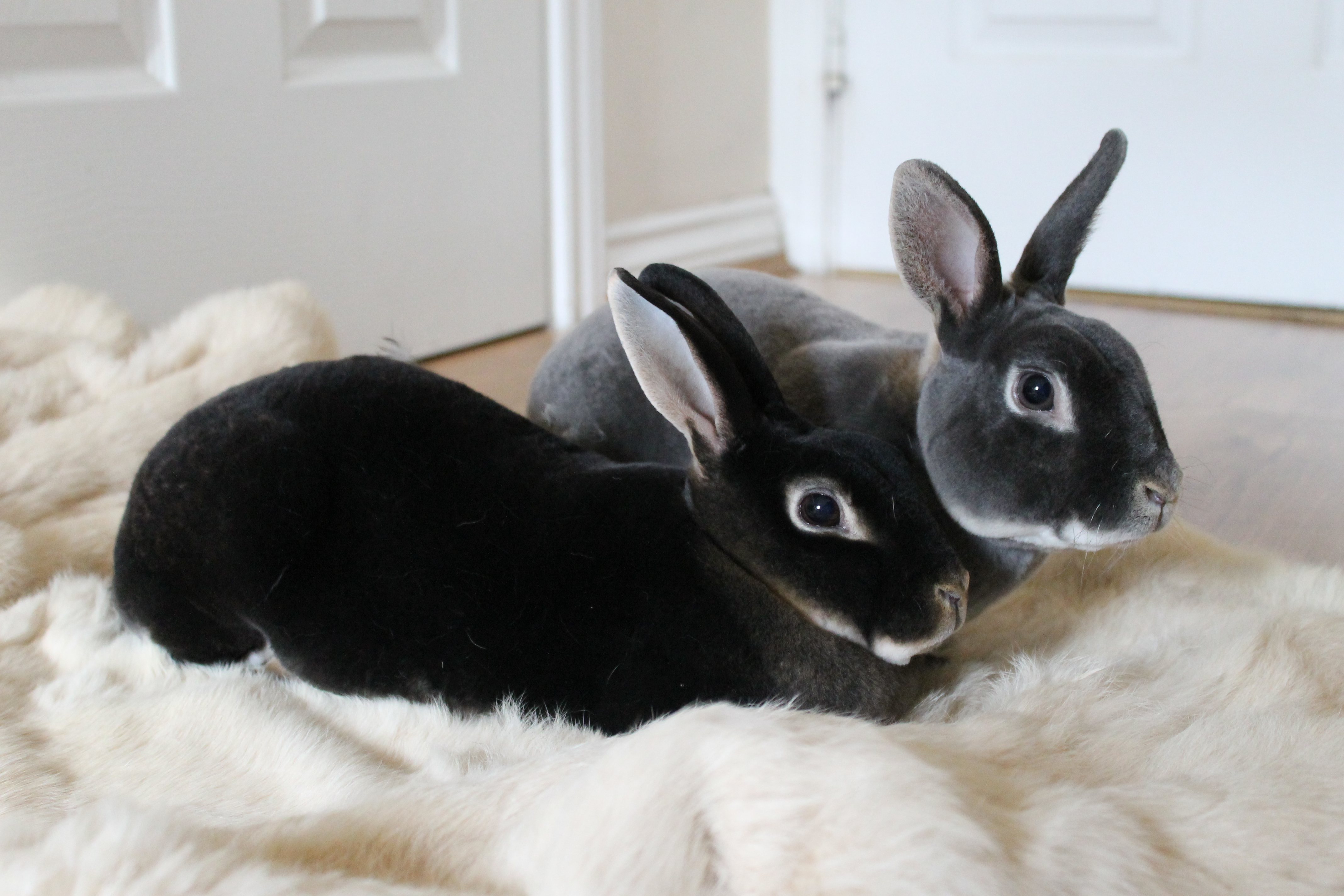 Rabbits of the rex breed. Dwarf rabbit breed of rex