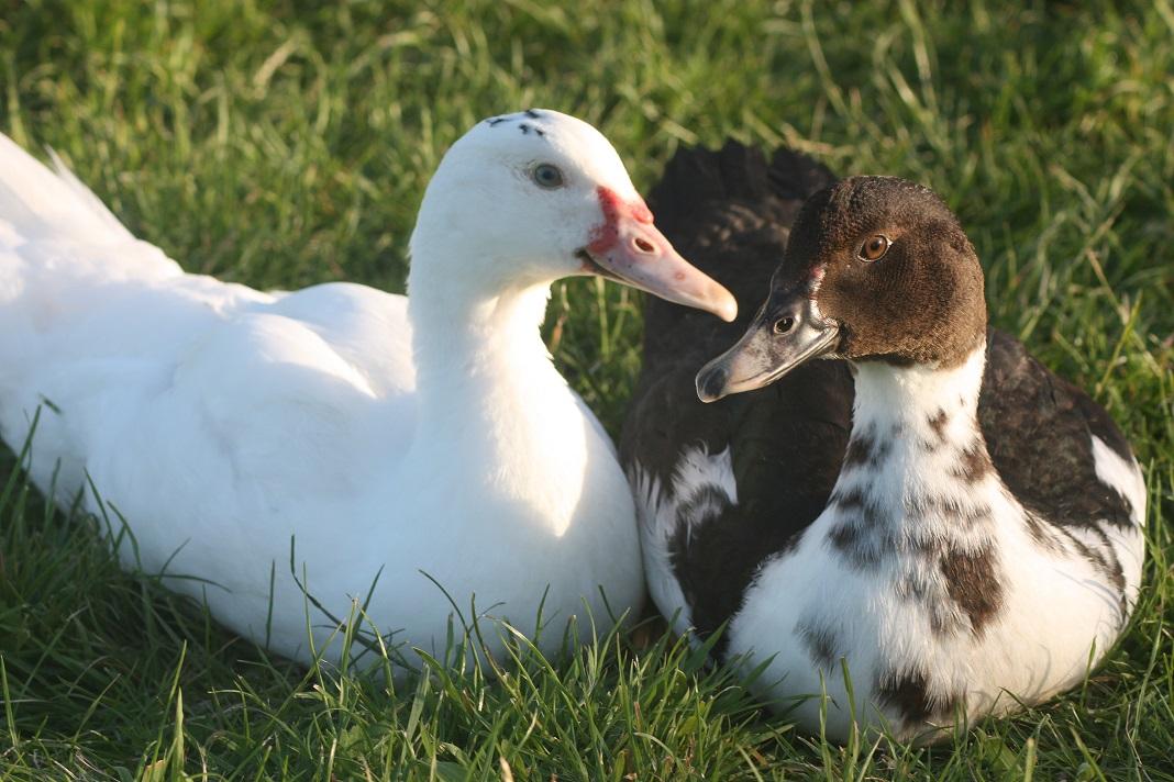 muscovy_ducks_lets_cuddle_up_1f6823bf2cfe44c88adc185b.jpg