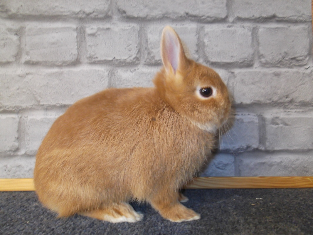Netherland Dwarf For Sale | Rabbits | Breed Information ...