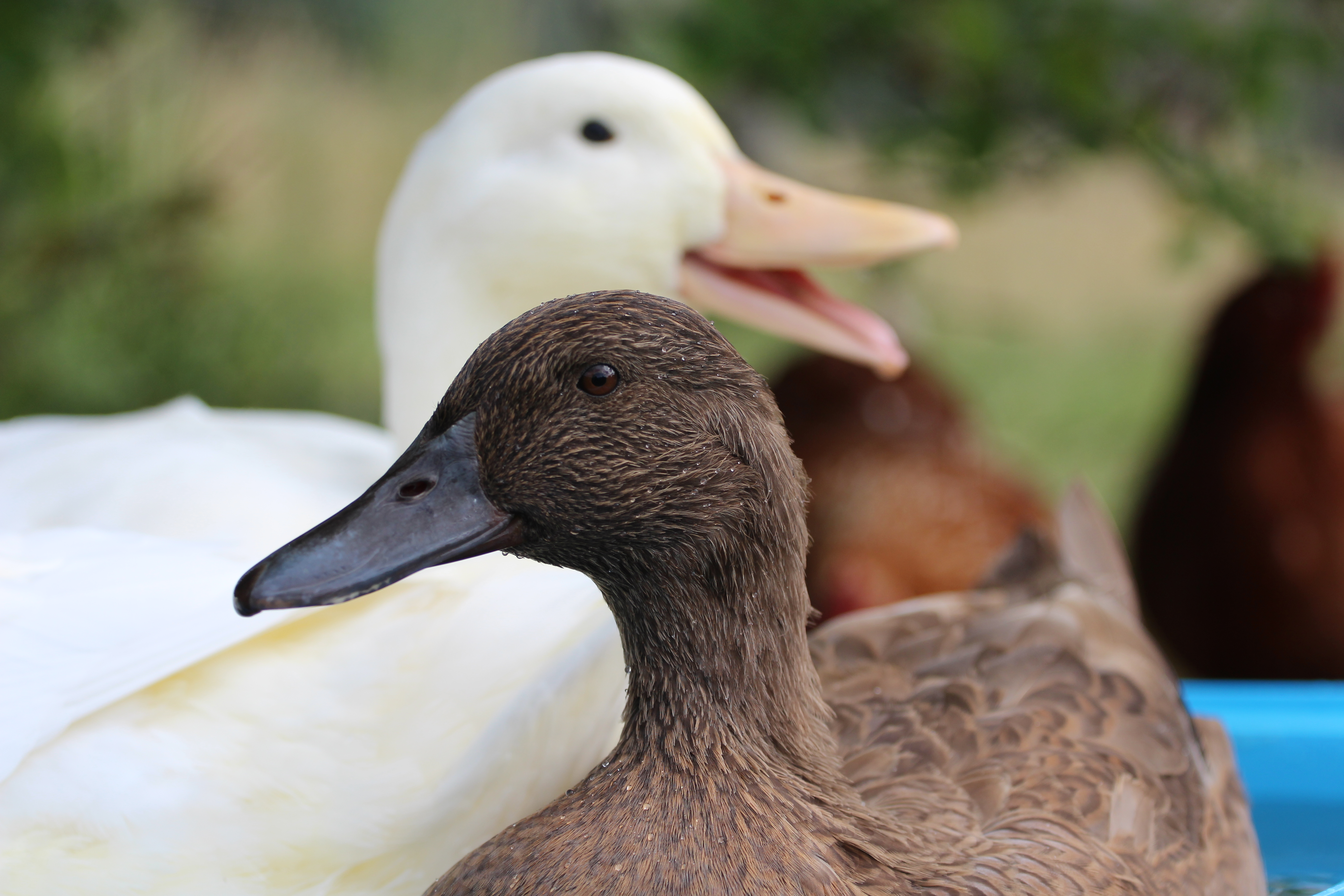 Pekin Duck For Sale | Ducks | Breed Information | Omlet