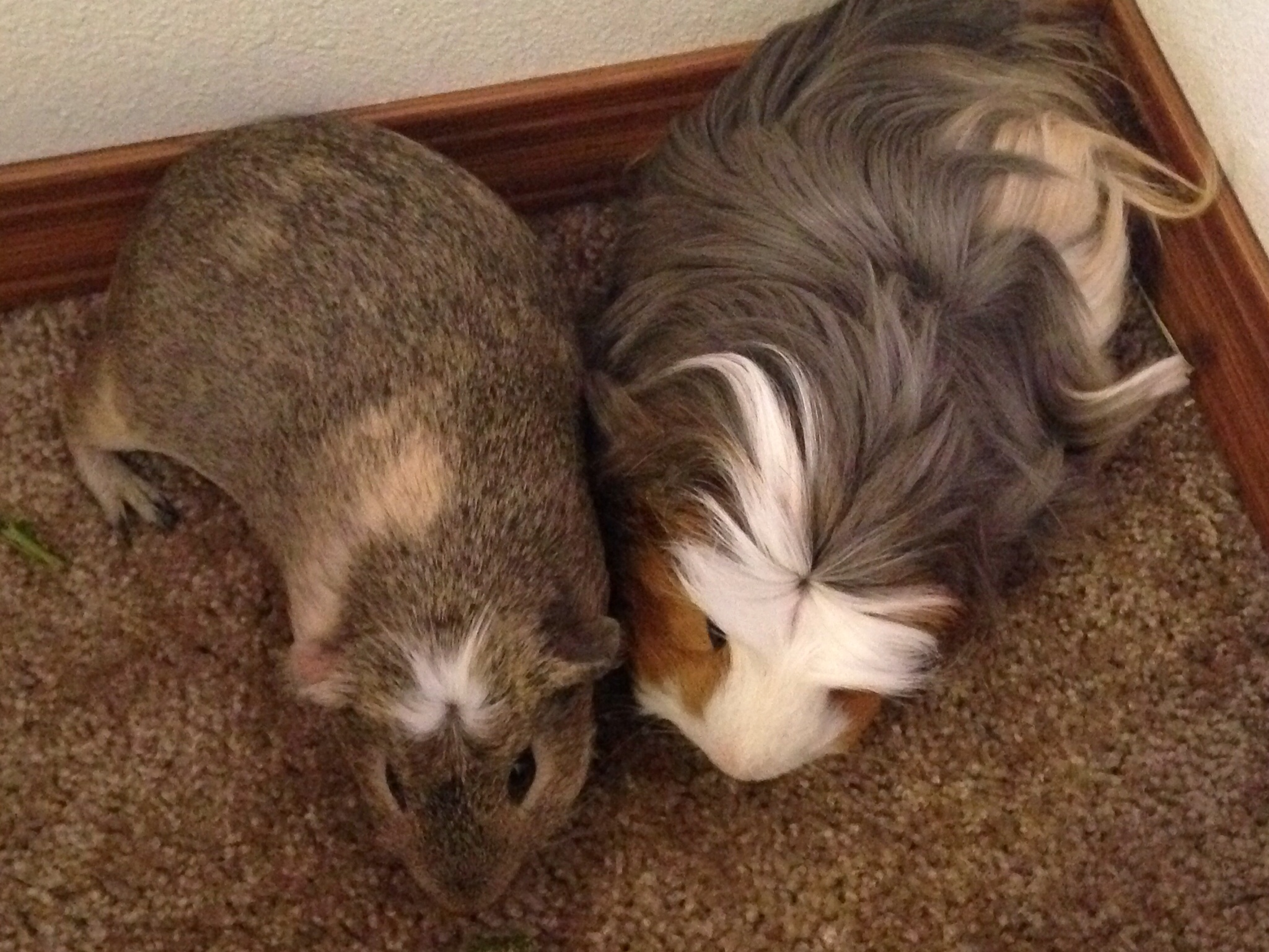 Peruvian For Sale | Guinea Pigs | Breed Information | Omlet
