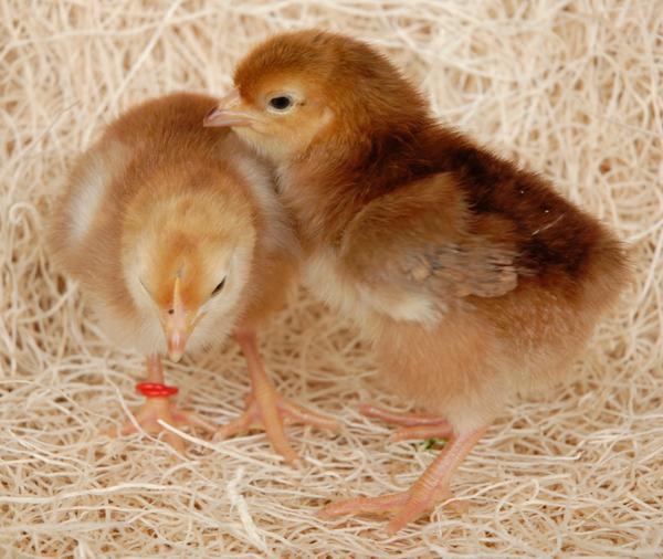 Rhode Island Chickens Information