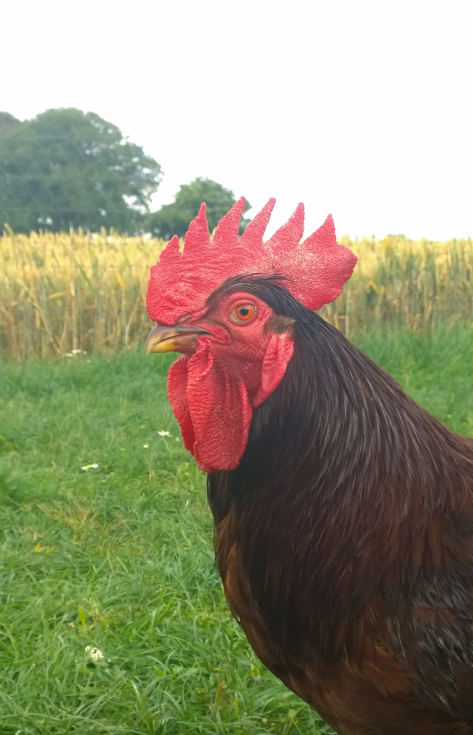 Rhode Island Red For Sale Chickens Breed Information