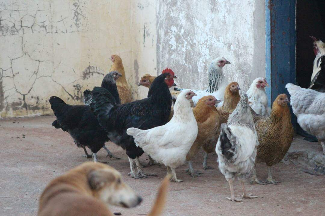 Serama For Sale | Chickens | Breed Information | Omlet
