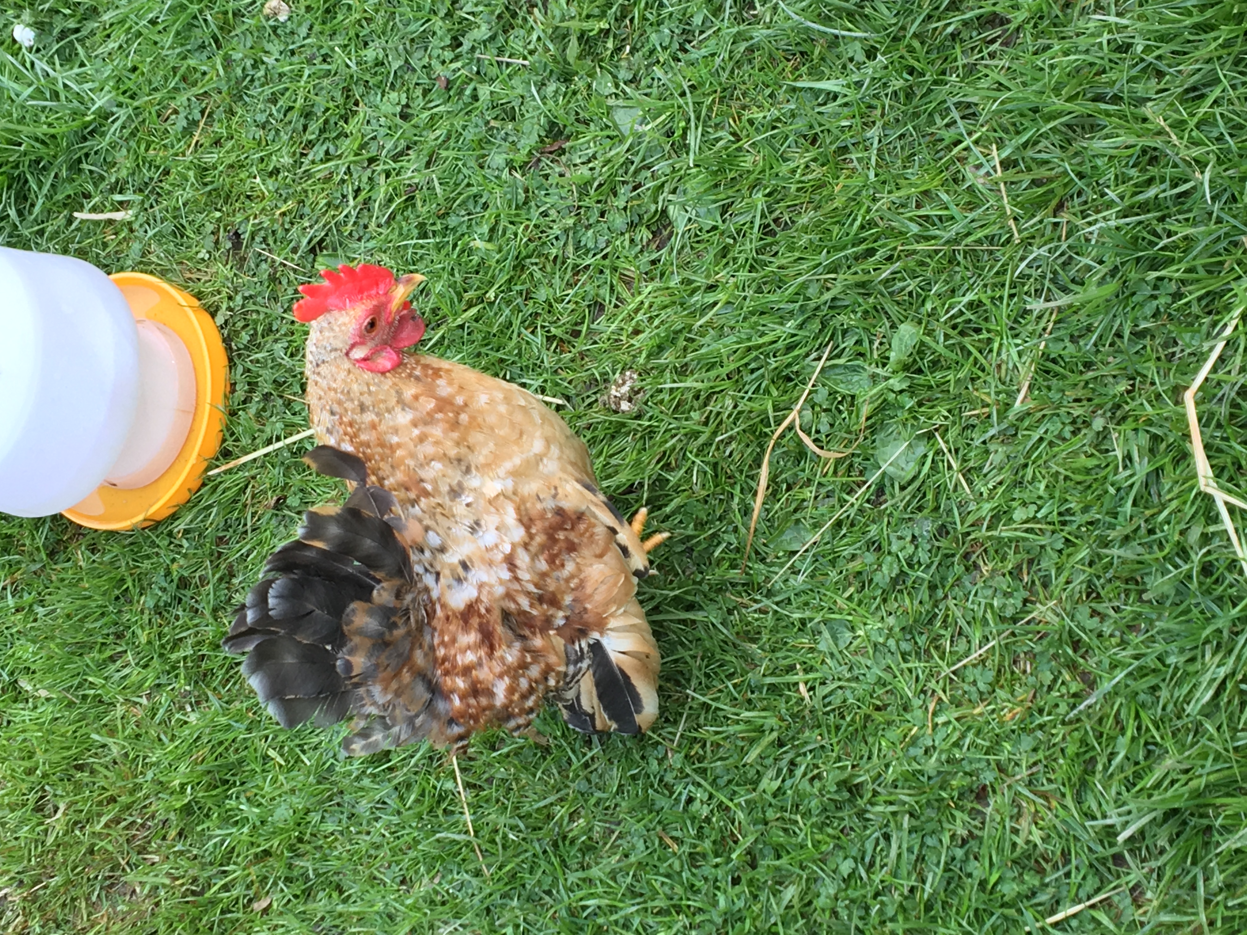 Serama For Sale   Chickens   Breed Information   Omlet