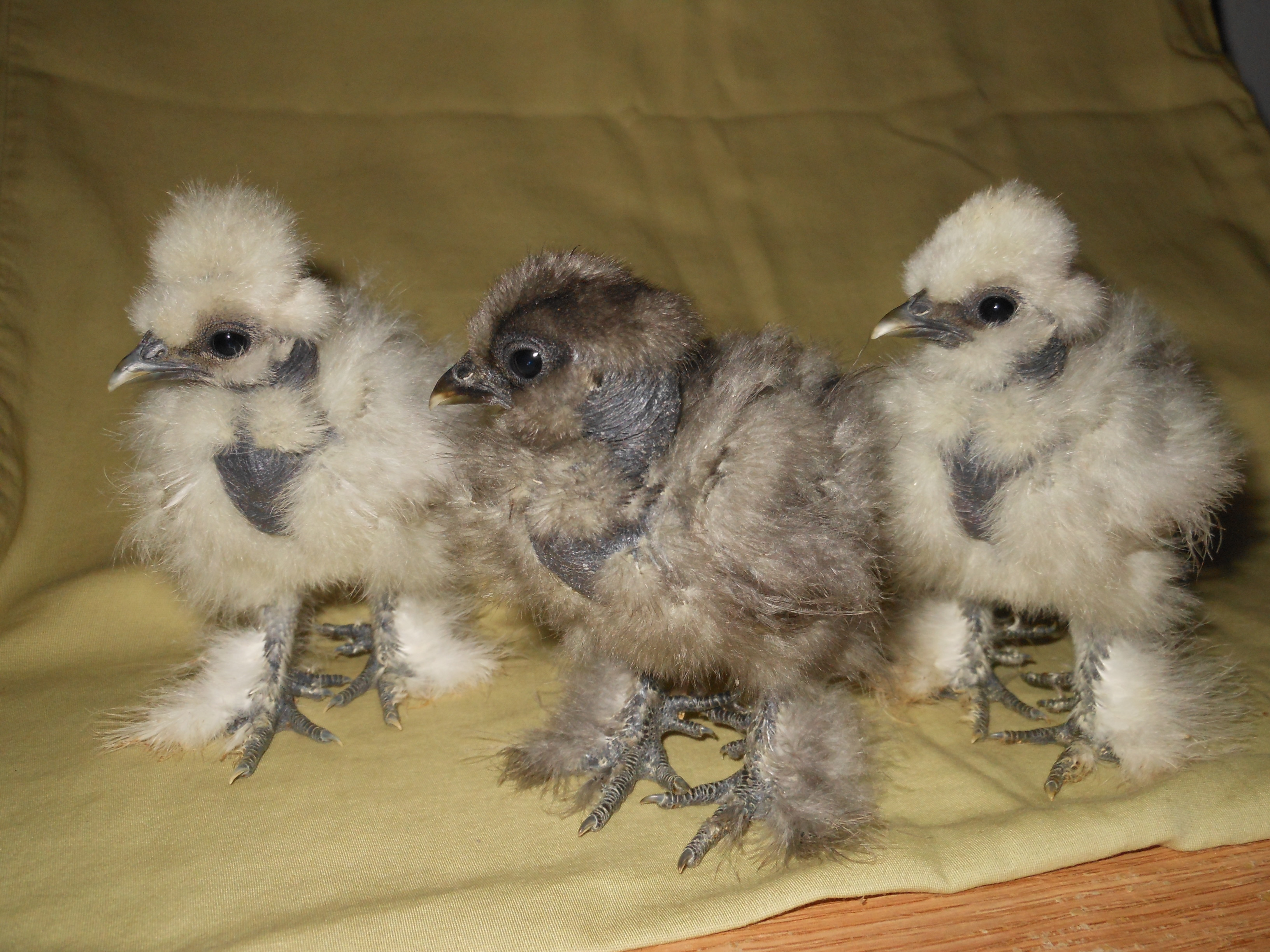 Silkie For Sale | Chickens | Breed Information | Omlet