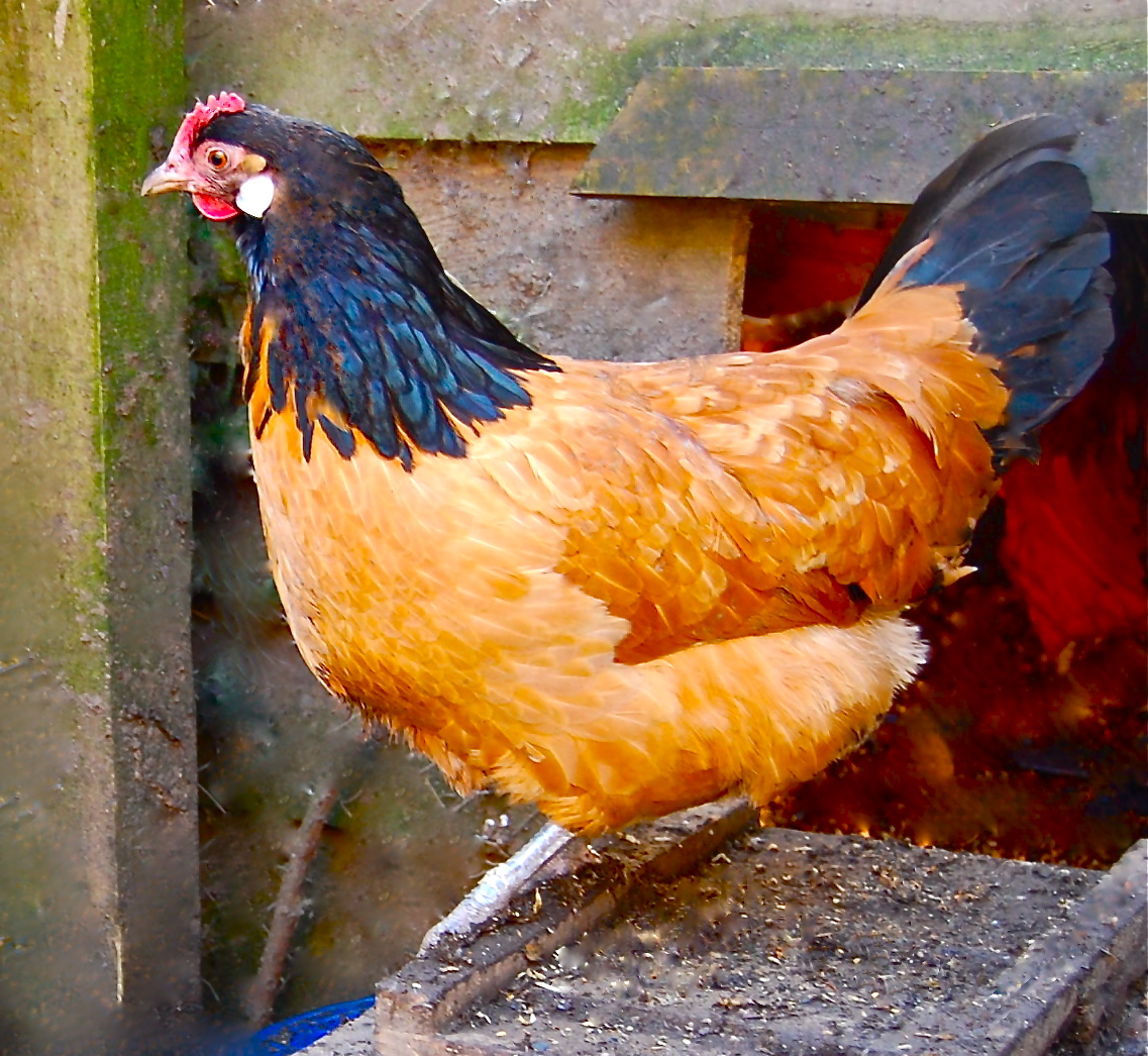 Vorwerk For Sale | Chickens | Breed Information | Omlet