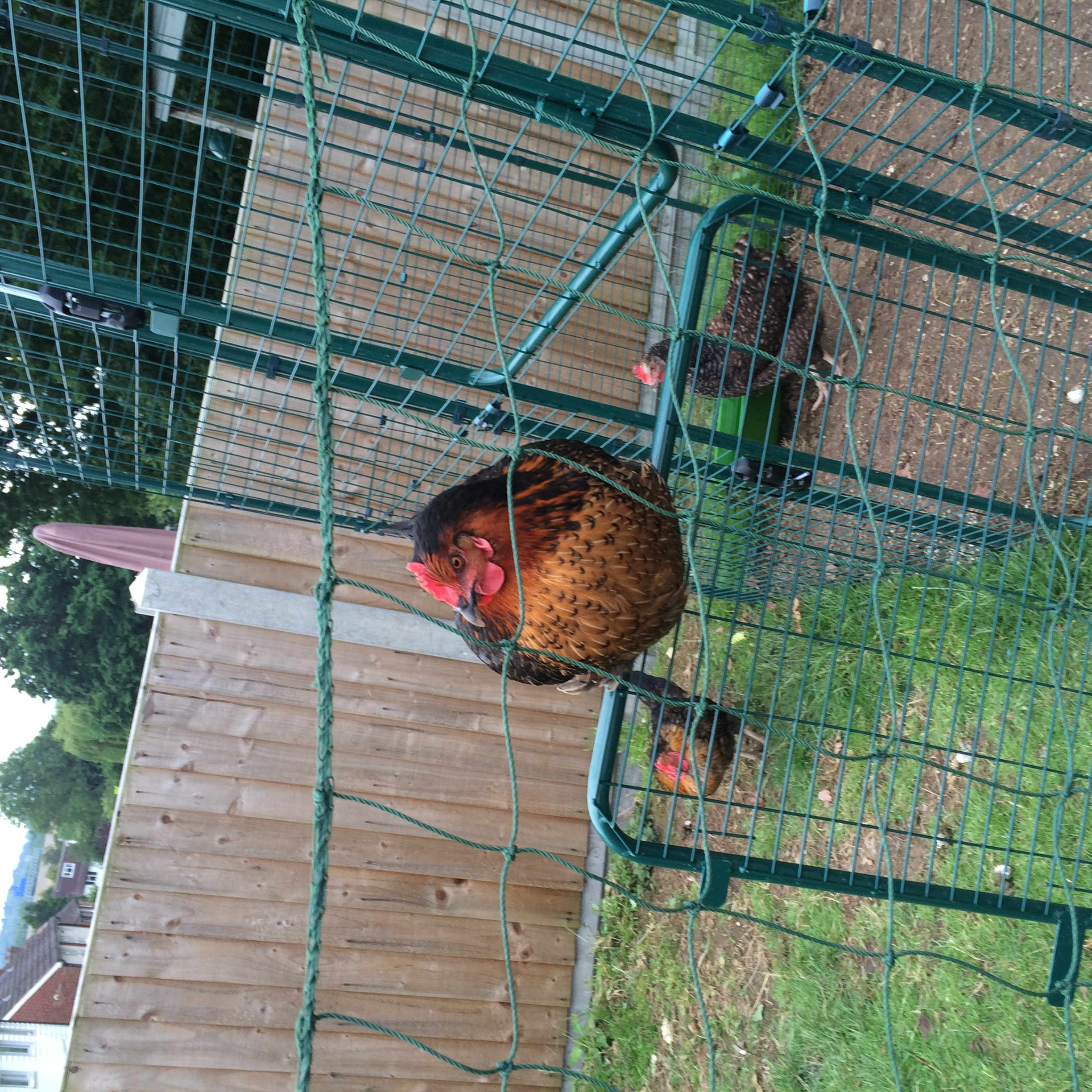 Big Nora Having A Perch On Our Walk In Chicken Run Door!