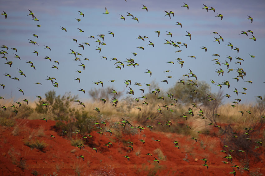 parakeet flock in the wild