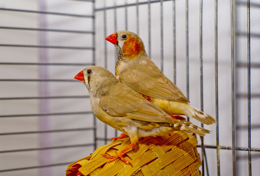 Zebra Finches and Canaries are not the only songsters